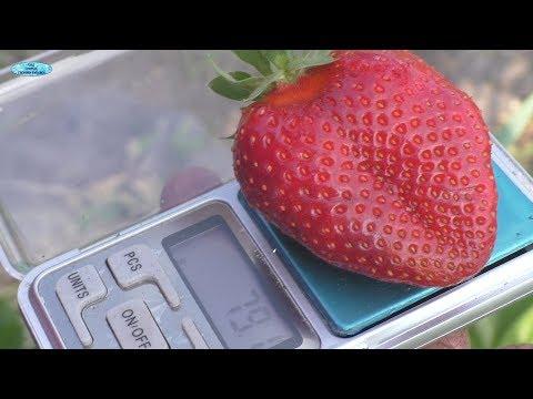 """Клубника сорта """"Хоней""""-первые ягоды!"""