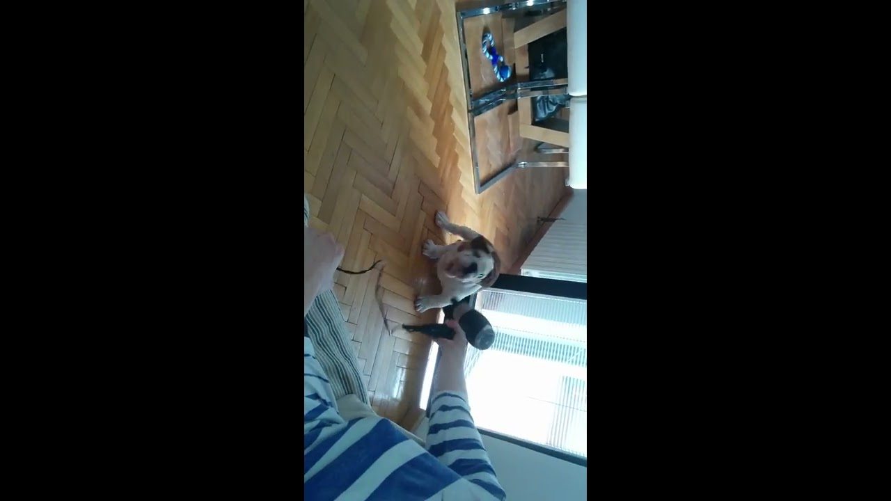 Angry puppy English bulldog - YouTube