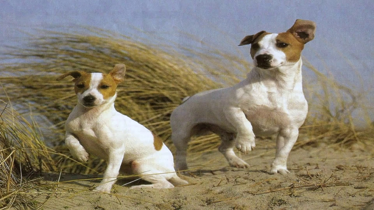 Pelea de perros Fox terrier Pelo liso Mascota - YouTube