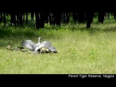Vulture Conservation in Pench Tiger Reserve, Maharashtra