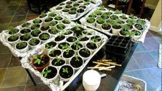 Oregano, Sage & Thyme: Seed Starting, Transplanting & Acclimating Outdoors - The Rusted Garden 2013