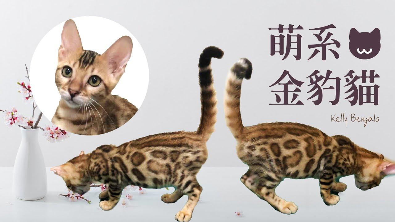 萌系金豹貓-看尾巴就知道牠有多開心 養一隻開心的貓---Kelly Bangals