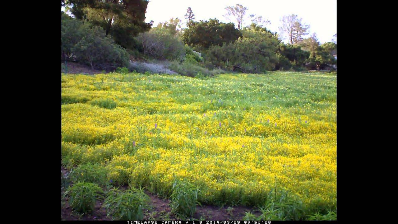 2014 spring wildflowers in the meadow at santa barbara botanic garden - Santa Barbara Botanic Garden