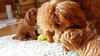 トイプードルの赤ちゃんが元気に、遊んでいますよ~ 両親とおにいちゃん...