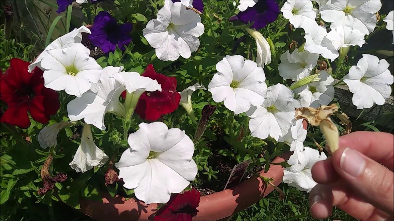 Plant Talk Petunias Anual Vs Perennial Youtube