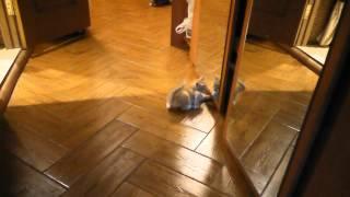 Котенок играет с зеркалом