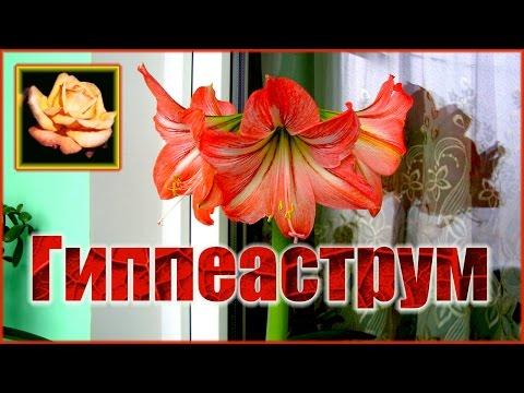 Как добиться ежегодного цветения гиппеаструма. Комнатные растения.