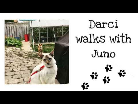 Balinese Cat Darci walks on leash with dog