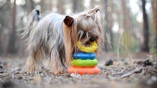 Amazing dog tricks by Yorkshire terrier ( a small part of the tricks) / Умный йорк / часть трюков
