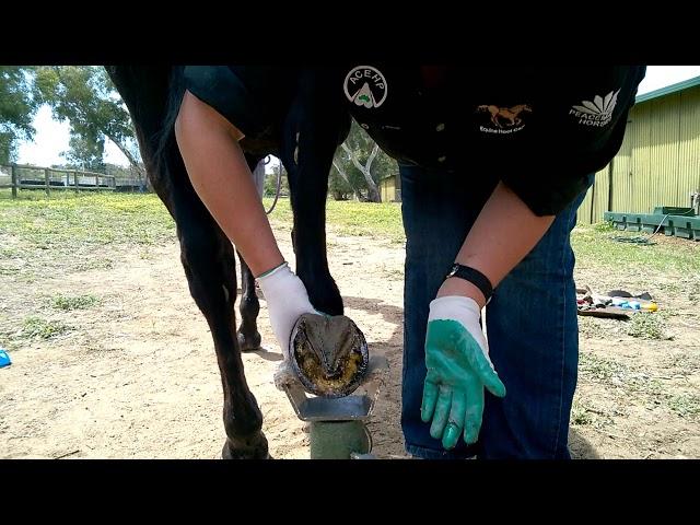 Hoof Armor Application Sandra Hall Australia