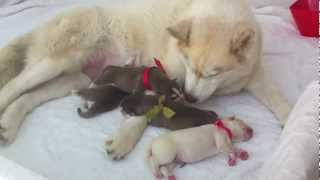 Newborn Siberian Husky Day 1 - Good Girl Sasha!