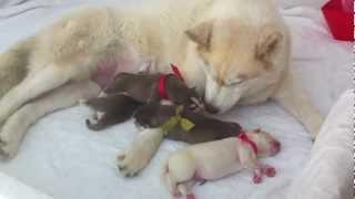 Newborn Siberian Husky Day 1 - Good Girl Sasha!