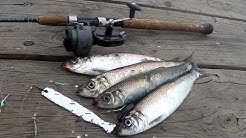 Long Island HERRING FISHING at OYSTER BAY, NY - Sometimes You Get LUCKY!!!