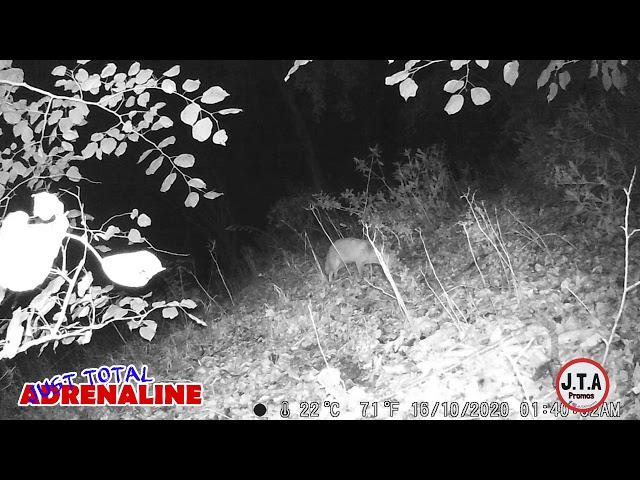 Fox near Hawick - Night Vision Infrared HD Wildlife Camera clip - by JTAPromos www.JTAPromos.net