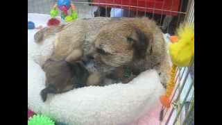 Border Terriers: One Lucky Puppy