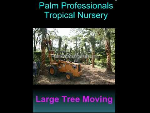 Date Palm Tree Installation In Houston. Palm Trees Sold By Palm Professionals. Palm Tree Nursery