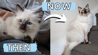 Happy Birthday Zeus! 🐱 2-12 Month Ragdoll Kitten to Cat Transformation