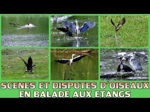Balade aux oiseaux - Dispute d'oiseaux, vol d'oiseaux (63)