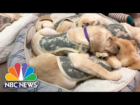 Check Out The Puppies In Training That Have Become A Virtual Hit | Nightly News: Kids Edition