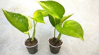 Grow money plant cutting easily in smallest pot | Grow cuttings from plants | Indoor plants