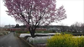 光山小学校付近の桜と東武越生線:2016年3月31日:埼玉県入間郡毛呂山町旭台