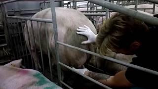 Абсцессы свиней (гнойники, гнойные опухоли)