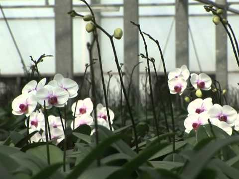Taiwan's orchid business blossoms