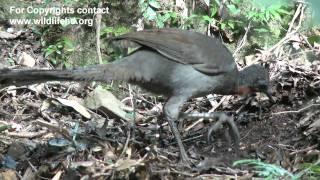 Australian Lyrebird. Sony EX1R, XD CAM