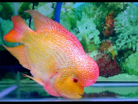 GRAND CHAMPION WINNER OF THE FLOWERHORN COMPETITION IN VIETNAM 2019