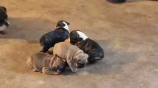 French Bulldog Mix Puppies For Sale