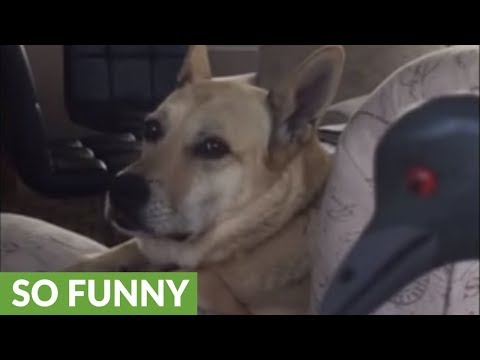 Guilty dog willfully ignores owner's admonishment