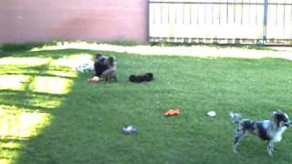 Pomeranians In Their Lion Cut