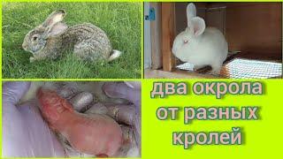 Мои любимые Белые Великаны и Фландер. Окрол у крольчихи, даже у двух.Какие они, маленькие крольчата