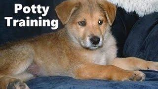 How To Potty Train A Sheprador Puppy - German Sheprador House Training - Sheprador Puppies