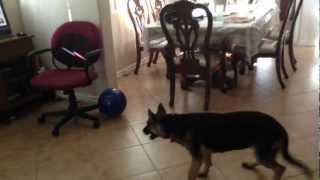 German Shepherd Puppy Hates Giant Ball