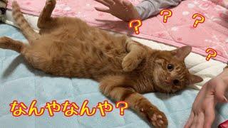 かわいい猫!メス飼い主の可愛がりによるきんたの反応が最高すぎた!