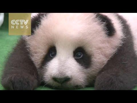Baby panda 'Jingjing' makes debut in Malaysia