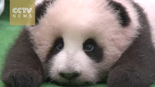 "Baby panda ""Jingjing"" makes debut in Malaysia"