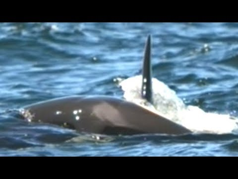 Grieving Orca Mother Spotted Still Pushing Her Dead Baby Calf 7 Days Later
