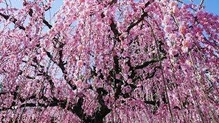 結城神社の梅 しだれ梅の名所 三重県 plum blossom 2018