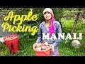 Apple Picking Manali, Himachal Pradesh | Limetrails