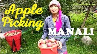 Apple Picking in Manali, Himachal Pradesh | Limetrails