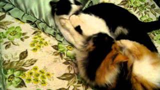 кошки бьют друг другу морду