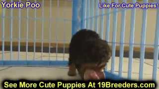 Yorkie Poo, Puppies, For, Sale, In, Lexington, County, Kentucky, Ky, Bowling Green, Owensboro, Covin