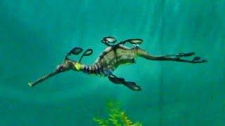 ウィーディーシードラゴン (葛西臨海水族園)Weedy sea dragon thumbnail