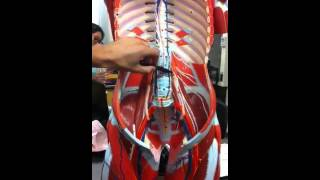 Lumbar Plexus on Model