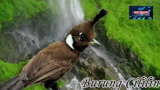 Download Mp3 Suara Gemerincik Air Dan Suara Burung Cililin