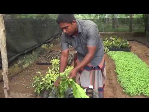 How to grow flower branches plant- sinhala (nihal ranasingha-kuliyapitiya)