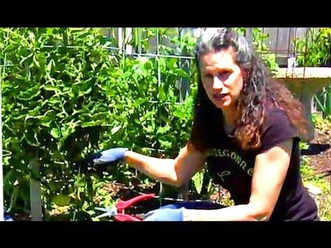 how-to-prune-tomato-plants?