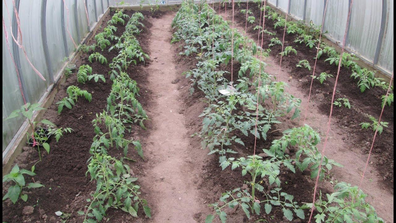фишка том, как правильно разместить помидоры в теплице фото погоне